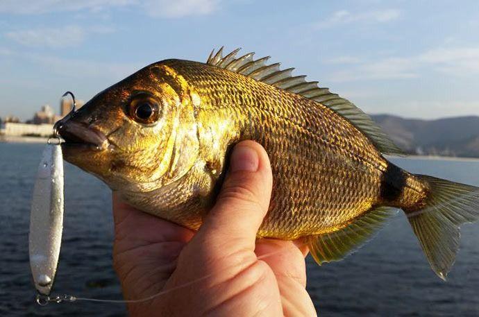 ласкирь рыба фото это
